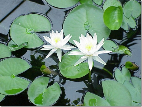 Water Lily plant leaves are round and typically notched on one side