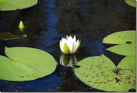 Water Lily plant flower and leaves
