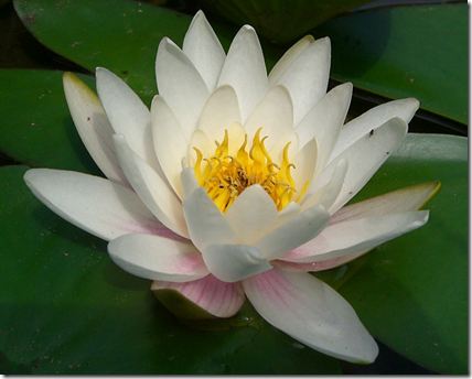 Close up of Water Lily plant flower
