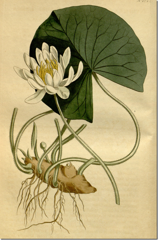 Color drawing of Water Lily plant, leaf, flower, and roots