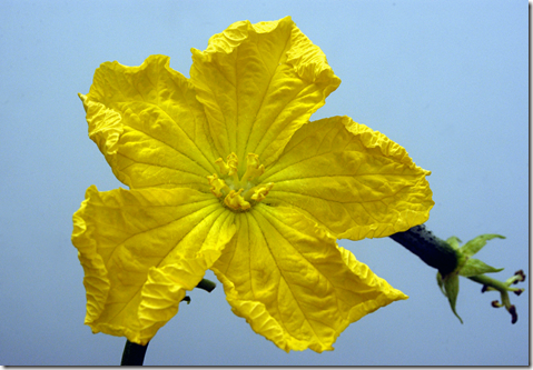 The five petaled Wild Gourd yellow flower