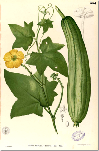 Color drawing of Wild Gourd illustrating flower, triangular lobed leaves, and fruit