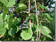 Purple grapes hanging from the vine