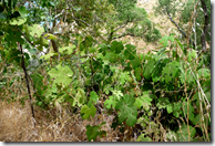 Grapes growing in the wild
