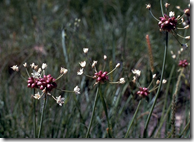 Wild Onion growing in the wild