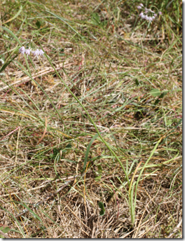 Wild onion can be harder to spot if no flowers have presented themselves