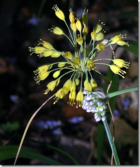 Wild Onion flowers can be yellow too