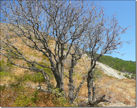 Wild Pistachio trees with their broken bark and gangly limbs can look haggard