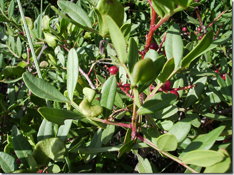 Wild Pistachio leaves and fruit