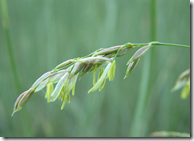 Wild Rice grain at the end of the stem