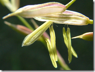 Close up of Wild Rice seed