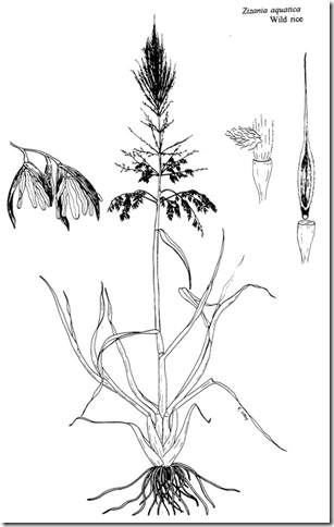 Drawing of Wild Rice plant