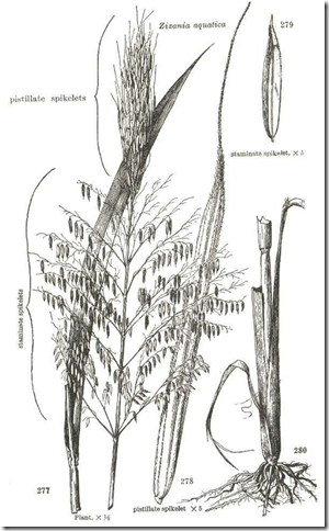Drawing of Wild Rice plant illustrating the plant, grain heads, root system, and seed fruit