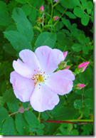 Wild Rose flowers typically have five petals