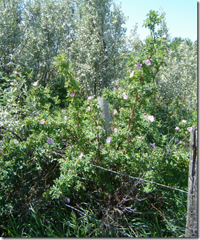 Wild Rose plant growing in the wild