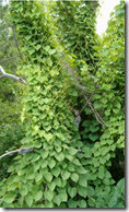 Wild Yam growing in the wild