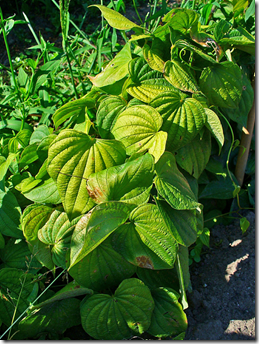 Yam plants typically creeps along the ground