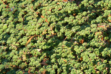 A cluster of blackberry plants