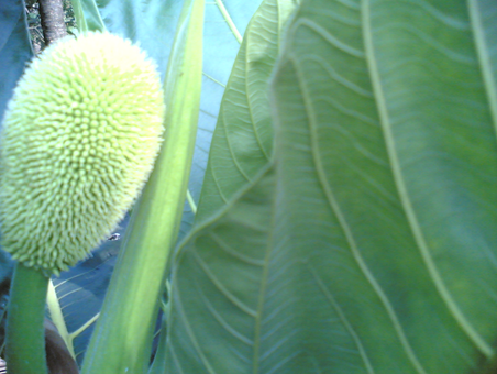 A Breadfruit in its early stages of growth