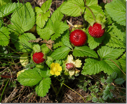 Indian strawberry leaves, flower, and fruit