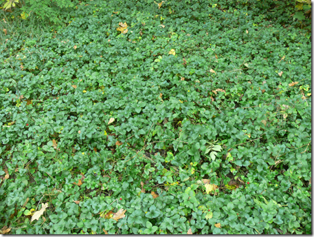 Creeping Indian strawberry is considered an invasive species
