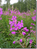 Fireweed in the wild