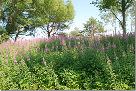 Patch of Fireweed plants