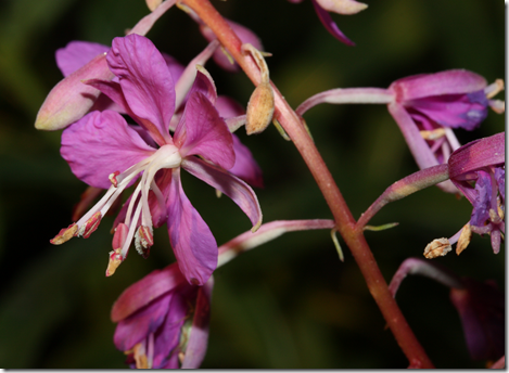 Close-up of Fireweed flower showing its four petals and four stigmas