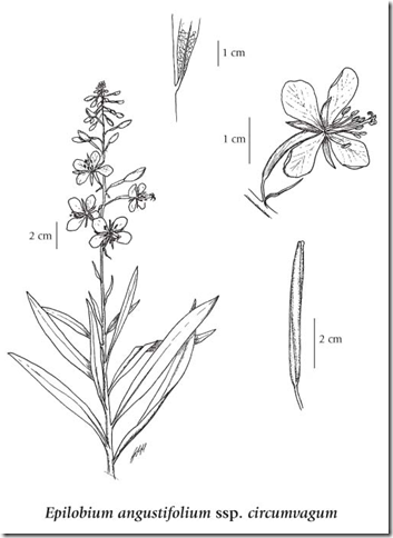 Drawing of a Fireweed plant showing the various plant components