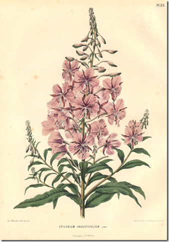 Color drawing of Fireweed plant