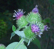 The burr-like flower clusters of the Burdock plant