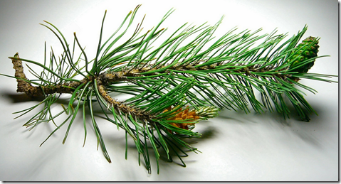 Pine tree branch showing needles and small pine tree cone