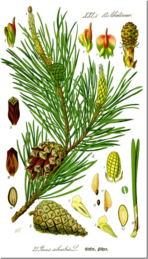 Color illustration of pine tree components