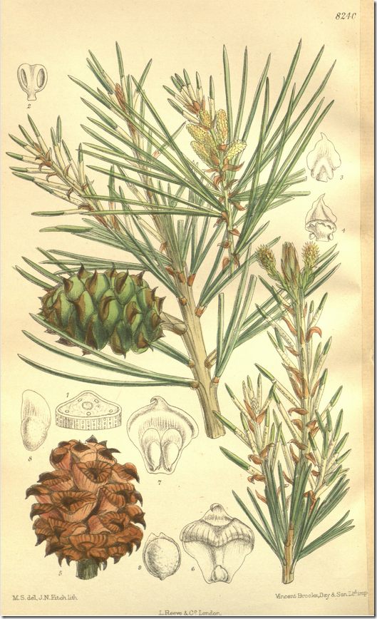 Color drawing of pine tree branches, cones, and seeds