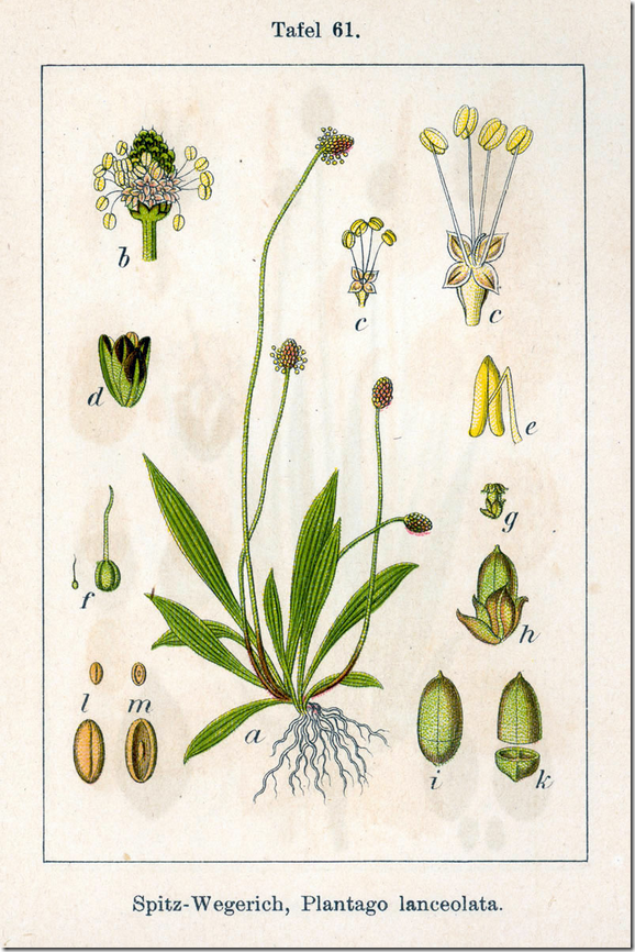 Color illustration of narrow leaf Plantain plant and its components