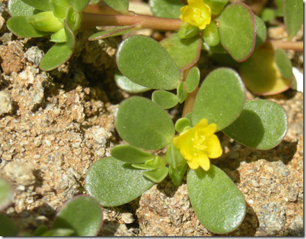 Purslane leaves with small yellow flowers