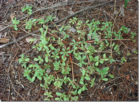 Purslane spreads from a central root