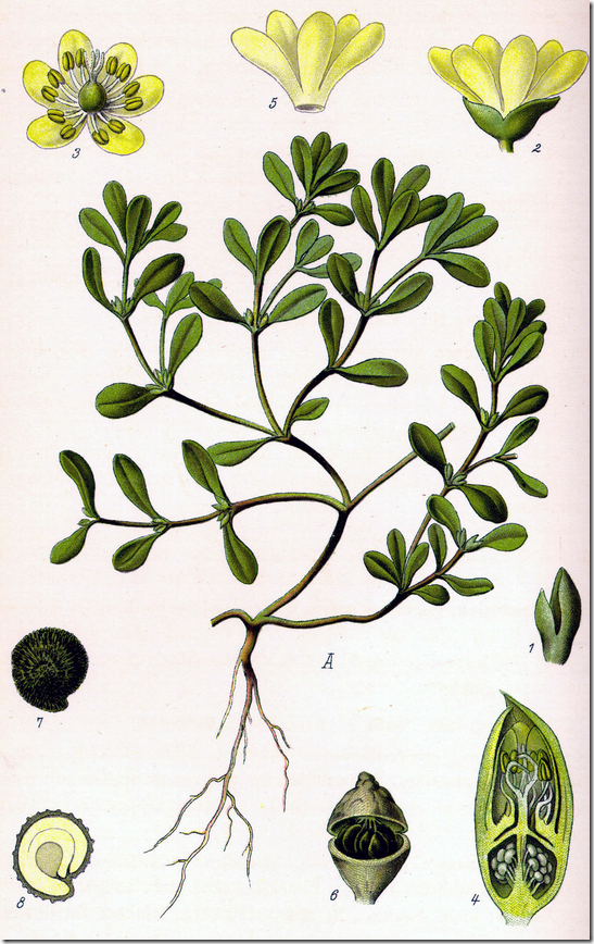 Color illustration of Purslane plant including leaves, flowers, seed pods, and cross sections