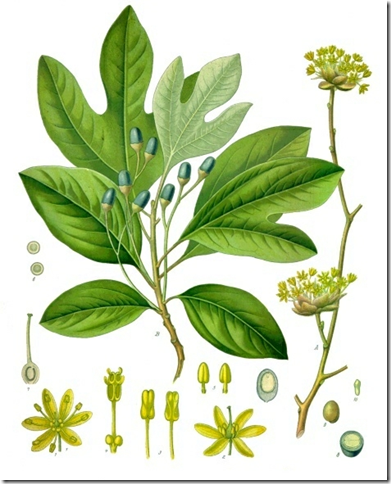 Drawing of Sassafras tree illustrating the plant's components