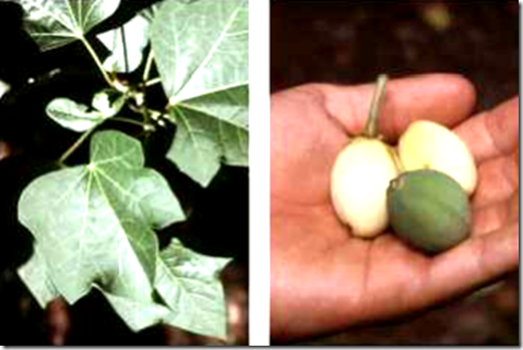 Physic Nut leaves and nuts
