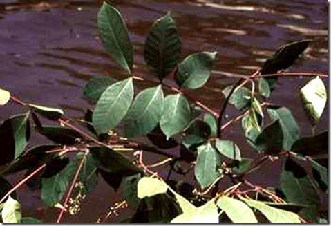 Poison Sumac plant with oblong, pointed leaves