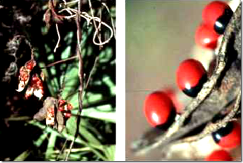 Rosary Pea seedpods and colorful seeds