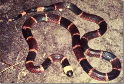 """Coral Snake with the typical """"red on yellow, kills a fellow"""" colored band pattern."""