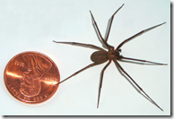 Brown Recluse spider size compared to a penney