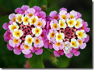Lantana flowers can vary greatly in color