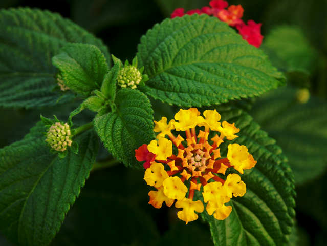 Close-up view of Lantana flowers and leaves