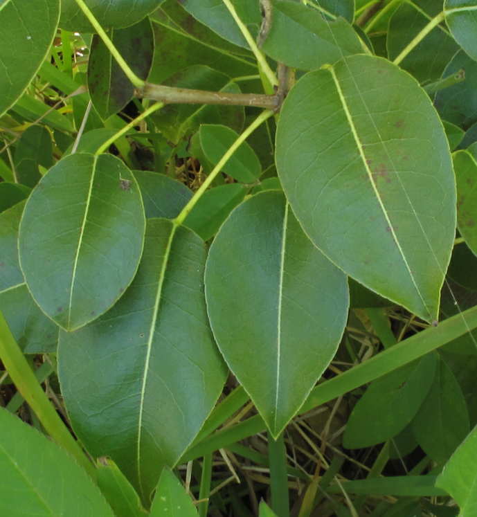 Close up of Manchineel leaves and stems