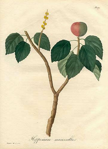 Drawing of the Manchineel Tree illustrating the plant's branc, leaves, and seeds