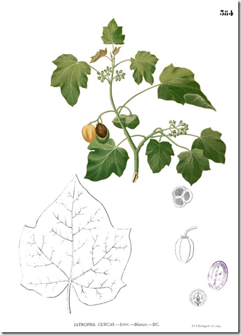 Drawing of Physic Nut (Jatropha) illustrating the plant's stems, leaves, flowers, and nuts