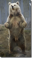 Brown Bear standing in fighting position